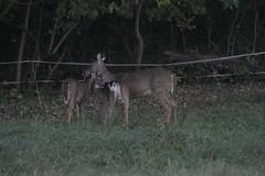 _MG_1935 (thinktank8326) Tags: deer whitetaileddeer fawn doe babyanimal babydeer