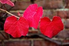 3 red leaves (stevehimages) Tags: autumn colours steve steveh stevehimages wowzers warden west midlands 2016 winterbourne house gardens red leaves