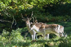Fallow Deer - Young Stags (gavsidey) Tags: fallowdeer stag octoberrut photooftheday deer rut derbyshire wildlife