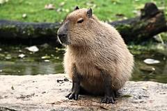 Capybara Wishes Everybody a Great Weekend (caren (Thanks for 1 Million+ views)) Tags: hydrochoerushydrochaeris wasserschwein capybara rodent tierparkhellabrunnzoomunich