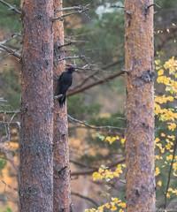 Palokärki (Dryocopus martius), Black woodpecker (pohjoma) Tags: lintu palokärki dryocopusmartius blackwoodpecker bird woodpecker canoneos7dmarkii canonef100400mmf4556lisiiusm finland 500v20f