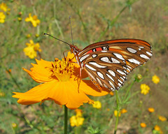 Gulf fritillary on wild cosmos (Vicki's Nature) Tags: gulffritillary butterfly orange spots white yellow cosmos wildflowers bokeh supermacro canton etowahriverpark georgia vickisnature canon 9982