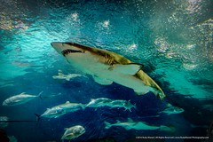 Sharks... (RudyMareelPhotography) Tags: china pudong september shanghai shanghaioceanaquarium flickrclickx flickr ngc