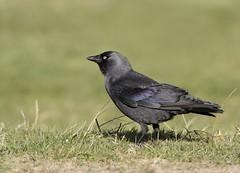 Jackdaw (Corvus monedula) (Crotach) Tags: jackdaw corvusmonedula crow corvid birdsofireland irishbirds donabate dublin codublin irishwildlife aves birds