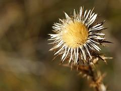 Soleil d'automne (JMVerco) Tags: automne autumn fall autunno fleur flower fiore lumière light luce flickrchallengegroup