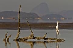 Ardea alba (Luiz Baroni Junior) Tags: 2012 ano apadeguapimirim aves baiadeguanabara cidade garabrancagrandeardeaalba guapimirim lugares riodejaneiro