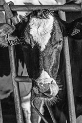 A_cow_thing (NetAgra) Tags: dairycows holstein dairy cow bw blackandwhite wisconsin barn nose tongue eyes ears bovine