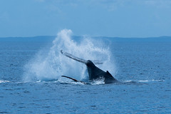 Splash (Scottmh) Tags: 2016 australia cruise nikon bay breaching coast d7100 fraser hervey holiday queensland spring travel watching whale whalesong