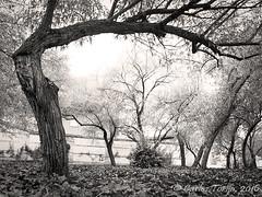 El jardn misterioso (Carlos Torija) Tags: jardn garden gardens guadalajara carlostorija tree rbol infantado palaciodelinfantado park parque mistery mist niebla neblina hiedra ivy misterio serenidad calma soledad solitude