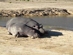 Nilpferde_1 (@ FS Images) Tags: mutterkindnildpferd nilperd liegend sonnend canon eos 600d outdoor landschaft natur sdafrika tiere hippo