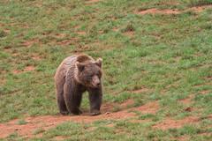 BEAR (Aitzol Arruabarrena) Tags: cabarceno d800 tokina 300 animals animaliak