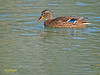 Hembra de Azulón (Anas platyrhynchos) (2) (eb3alfmiguel) Tags: aves acuaticas anade azulon hembra
