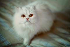 simal (koolandgang) Tags: 9months cat kitten kitty persian chinchilla irankedisi kedi kedici girl pisipisi animal pet imal kehribargzl nikond700 nikon50mm
