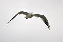 Black-headed gull (keynowski) Tags: blackheadedgull karabaşmartı chroicocephalusridibundus nature ngc animalplanet animal seagull canon70d canonef400mmf56lusm