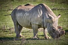 rhinoceros (rondoudou87) Tags: rhinoceros rhinocéros parc zoo reynou nature natur wild wildlife pentax k1 vert green