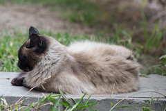 _MG_1414 (franztomandl) Tags: cat cats kitten beautiful pet siames gato gatos pool piscina walking blue eyes ojos azules