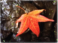 (Ruth Nicholas) Tags: fallleaf burntorange wetleaf riverrock mosssprinkles richcolors autumn raindroplets rainfall
