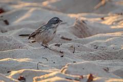 Sagebrush Sparrow-8770G (Paul*Nelson) Tags: michigan michigansupperpeninsula sagebrushsparrow sparrow up upperpeninsula whitefishpoint bird rarebird
