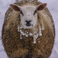 Sheep In Sheep's Clothing (Nick Biswell) Tags: sheep wool cold snow winter sony a100 tamron greathorwood animal coat clothing stare look staring looking