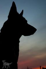 20161113-DSC_0984 (Kaiguin17) Tags: german shepherd dog silver sable east czech post apocolypse protector working bitch oswin run clever girl sunset
