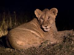 Lion Cub at Night (alex props) Tags: lioncub kenya masaimara nightsafari