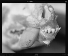 v550_scan007b (veljko.vujcic) Tags: pentax 6x7 67 ilford fp4 film mediumformat macro extension tubes 105mm f24 super takumar goat head animal dead