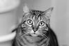 Maya (gRom62) Tags: bokeh cats pets animals animali animalidomestici gatti blackandwhite bianco nero