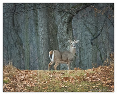 Whitetail Buck (GAPHIKER) Tags: deer buck points antlers 4points fourpoints whitetail odocoileusvirginianus woods grass overcast drizzle