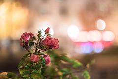 VOMZ Zenit Helios-77M-4 50mm /1.8 (Lens a Lot) Tags: vomz zenit helios77m4 50mm 18  77m4 1990 | 6 blades m42 f18 flower rose bokeh depth field color green pink red purple white vintage manual russian prime lens extrieur profondeur de champ fleur plante