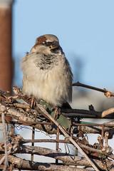 House Sparrow (J.B. Churchill) Tags: birds hosp housesparrow maryland places sunsetpark taxonomy weaverfinches worcester oceancity unitedstates us