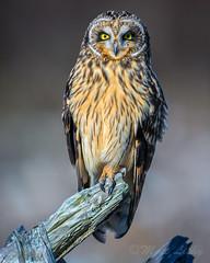 0_0 (mLichy911) Tags: shorteared owl owls raptor bird wild wildlife pnw wa seattle canon 7dmarkii 500f4 feathers igotmyeyeonyou stare detailed portrait winter cold perch driftwood bokeh dof