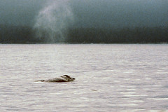 """Pacific Rim National Park - Fahrt zur """"Broken Island Group"""" - Grauwal (astroaxel) Tags: kanada british columbia vancouver island pacific rim national park broken group grauwal wal"""