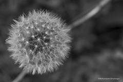 DSC_7372 (pisavola) Tags: flora monti pisani