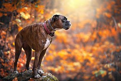Fall (Tams Szarka) Tags: dog pet animal puppy boxerdog boxer outdoor nature forest nikon autumn strawberry