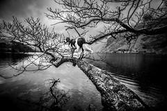 One Way Street (JJFET) Tags: tree climbing dog elk border collie
