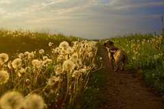 Follow me... (Margot in Love) Tags: sunset summer dog flower animal evening sonnenuntergang sundown walk sommer ngc meadow wiese blumen dandelion hund parker tier spaziergang puggle abends lwenzahn pusteblume summerfeeling 2013 pentaxk5