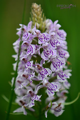 The Common Spotted Orchid (Sharon Dow Photography) Tags: uk wild england plant orchid flower nature sussex petals flora nikon westsussex britain wildlife reserve spotted horsham naturalworld southernengland southeastengland warnham commonspottedorchid dactylorhizafuchsii britishwildflowers warnhamnaturereserve dactylorhizafuchsia d3100 nikond3100 sharondowphotography eurosiberianorchid