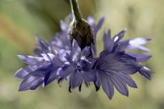 (c-or^^) Tags: blue flower fleur garden flora blu bleu blau fiori garten cornflower kornblume awesomeblossoms pentaxkr