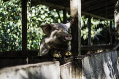 Chancho! (FX Carrera) Tags: horse animals contrast caballo 50mm pig ecuador bokeh farm chancho gualaquiza