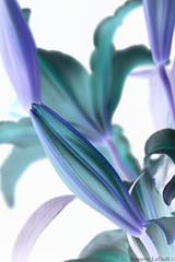 Bud of the Lily (Annette LeDuff) Tags: flora lily bud inverted favorited lumen digitallyaltered negatone mithopeesperana photoannetteleduff annetteleduff leduffcameraart 07012013