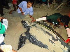Leather back turtle nesting (didisadili) Tags: indonesia turtle westpapua penyu leatherbackturtle papuabarat nestingarea tambrauw penyubelimbing