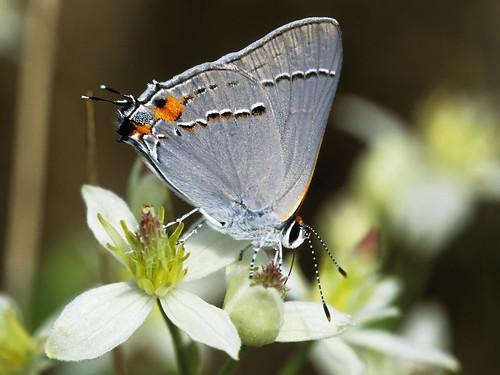 Photo - Gray hairstreak butterfly.