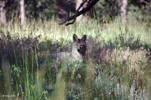 Photo - Watchful coyote at Joder Ranch Open Space.
