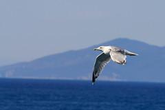 Seagull 2 (jo 65) Tags: italien toskana portosantostefano