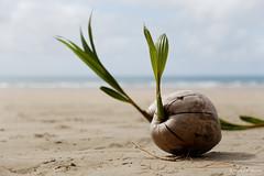 20130722-25-Coconuts growing at Nina Bay.jpg (Roger T Wong) Tags: sea trek outdoors nationalpark sand coconut walk australia hike queensland np bushwalk tramp canonef24105mmf4lisusm hinchinbrookisland canon24105 dampercreek canoneos6d ninabay