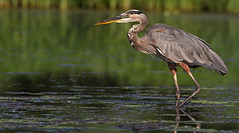 Great Blue Heron (Let there be light (A.J. McCullough)) Tags: heron birds texas greatblueheron brazosbend texasbirds fowlfeatheredfriends avianexcellence