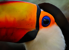 Tucn (mauro_332) Tags: life red wild orange colour green bird eye birds animal animals de ojo rojo nikon colores amarillo ojos pajaros animales pajaro naranja verdes vr loro reserva tucan plumas coloridos ecas ecologica 70300vr d3100