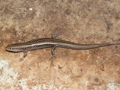 Scincidae Lygosominae>Ctenotus Skink DSCF5904 (Bill & Mark Bell) Tags: exmouth westernaustralia australia geo:town=exmouth geo:state=westernaustralia geo:country=australia geo:lon=11425453egeolat2217752sgeoalt8m 11425453e2217752salt8m taxonomy:kingdom=animalia animalia taxonomy:phylum=chordata chordata taxonomy:class=reptilia reptilia taxonomy:order=squamata squamata taxonomy:infraorder=scincomorpha scincomorpha taxonomy:family=scincidae scincidae taxonomy:genus=ctenotus ctenotus taxonomycommonnameskink skink animal fauna lizard