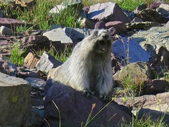 """""""Heeeeeeeeeyyyyyy!!!"""" (jcoutside) Tags: montana glaciernationalpark"""