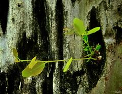 Vida (Blas Torillo) Tags: puebla mxico mexico planta plant rbol tree naturaleza nature verde green fotografaprofesional professionalphotography fotgrafosmexicanos mexicanphotographers nikon coolpix p500 nikonp500 coolpixp500 nikoncoolpixp500